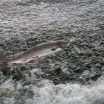 Leaping Salmon - paas.co.uk